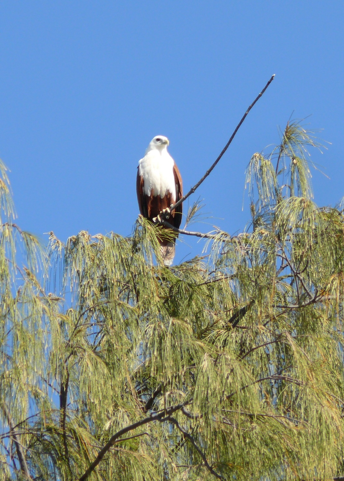 035 brahminy kite in casuarina tree