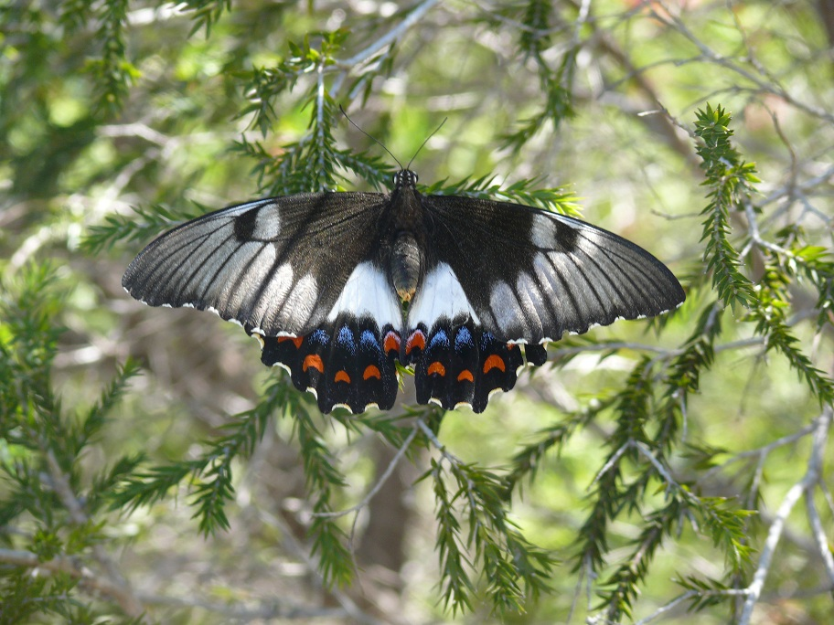 032-butterfly-found-in-aboriginal-nature-walk