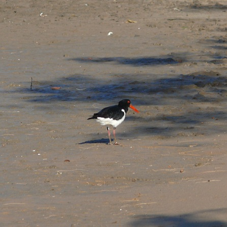 036-furtive-and-nervous-oyster-catcher